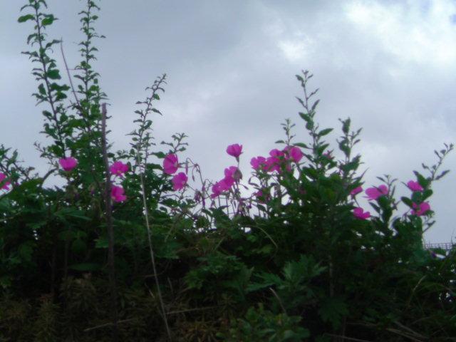秋の草花 カタバミ