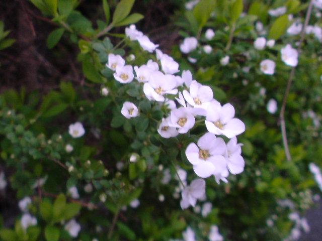 夕暮れに白い花