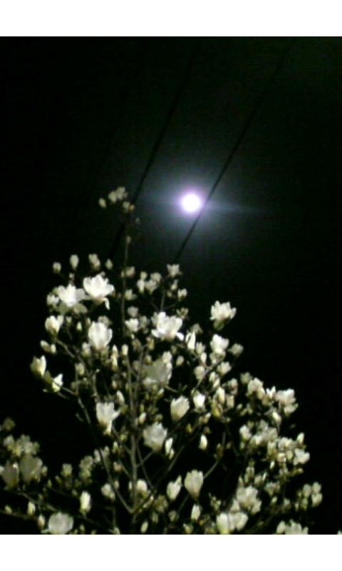 月夜の木蓮