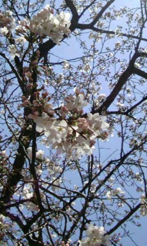 桜さん 咲いてくれて ありがとう。