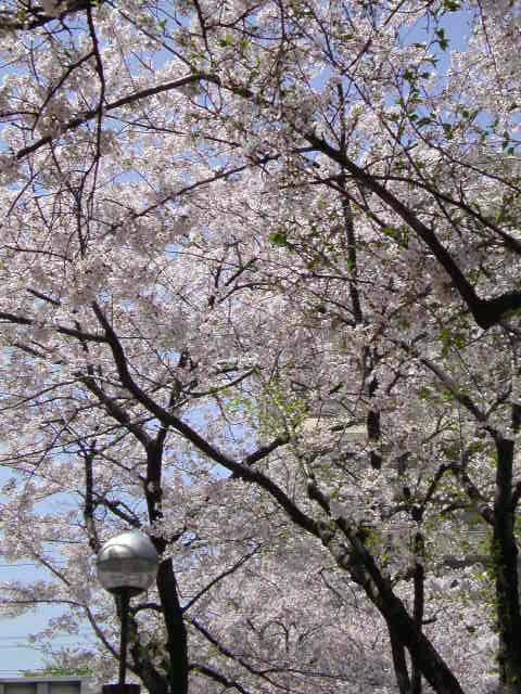 桜が満開です。桜のアーチをくぐる幸せ。